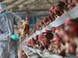 Delhi poultry market