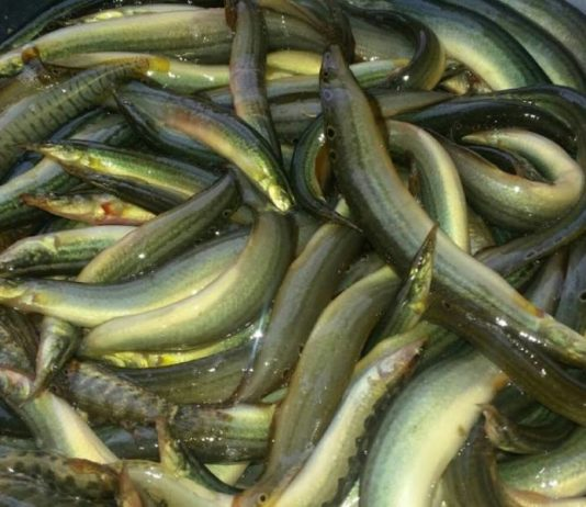 Japan's most expensive eel fish