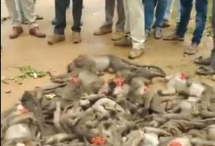 sixty monkeys found dead